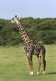 Giraffe (Giraffa camelopardalis). In Lake Manyara National Park, Tanzania stock images