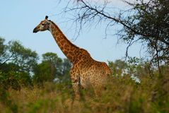 Giraffe (Giraffa camelopardalis) Stock Images