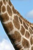 Giraffe (Giraffa camelopardalis). A Giraffe (Giraffa camelopardalis) in the Savuti region of Botswana Stock Image