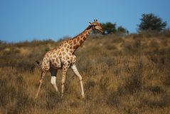 Giraffe (Giraffa camelopardalis) Royalty Free Stock Photography