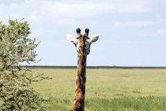 giraffe giraffa camelopardalis Стоковые Изображения RF