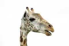 giraffe giraffa camelopardalis Στοκ Εικόνες