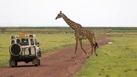 giraffe giraffa camelopardalis Στοκ εικόνες με δικαίωμα ελεύθερης χρήσης