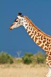 Giraffe (Giraffa camelopardalis) Lizenzfreie Stockfotografie