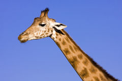 Giraffe (Giraffa camelopardalis). Head of a Giraffe with blue background royalty free stock photos