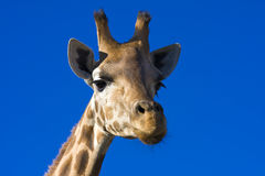 Giraffe (Giraffa camelopardalis). Head of a Giraffe with blue background royalty free stock image