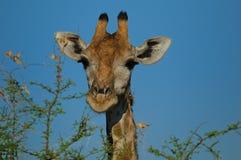 Giraffe (Giraffa camelopardalis) Stock Image