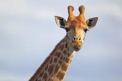 Giraffe (Giraffa camelopardalis) Lizenzfreie Stockfotos