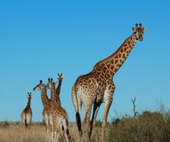 Giraffe (giraffa camelopardalis). Femal Giraffe with several calves in South Africa Stock Image