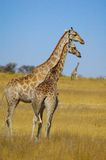 Giraffe (Giraffa camelopardalis) Royalty Free Stock Photo