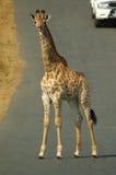 Giraffe (Giraffa camelopardalis) Royalty Free Stock Images