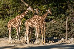 The giraffe, Giraffa camelopardalis is an African mammal stock image
