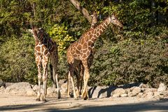 The giraffe, Giraffa camelopardalis is an African mammal. The giraffe, Giraffa camelopardalis is an African even-toed ungulate mammal, the tallest of all extant royalty free stock photography