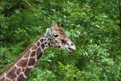 The giraffe, Giraffa camelopardalis is an African mammal. The giraffe, Giraffa camelopardalis is an African even-toed ungulate mammal, the tallest of all extant royalty free stock photo
