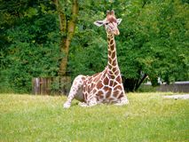 The giraffe, Giraffa camelopardalis is an African mammal. The giraffe, Giraffa camelopardalis is an African even-toed ungulate mammal, the tallest of all extant stock images