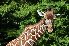 The giraffe, Giraffa camelopardalis is an African mammal. The giraffe, Giraffa camelopardalis is an African even-toed ungulate mammal, the tallest of all extant stock photos