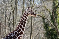 The giraffe, Giraffa camelopardalis is an African mammal. The giraffe, Giraffa camelopardalis is an African even-toed ungulate mammal, the tallest of all extant royalty free stock images