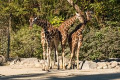 The giraffe, Giraffa camelopardalis is an African mammal. The giraffe, Giraffa camelopardalis is an African even-toed ungulate mammal, the tallest of all extant stock photo
