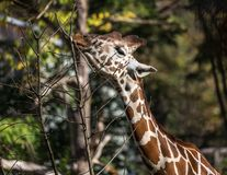 The giraffe, Giraffa camelopardalis is an African mammal. The giraffe, Giraffa camelopardalis is an African even-toed ungulate mammal, the tallest of all extant royalty free stock image