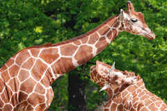 The giraffe Royalty Free Stock Photography