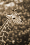 The giraffe Royalty Free Stock Image