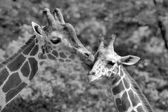 The giraffe Stock Photos