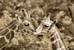 The giraffe Royalty Free Stock Photos