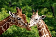 The giraffe. (Giraffa camelopardalis) is an African even-toed ungulate mammal, the tallest of all extant land-living animal species, and the largest ruminant Royalty Free Stock Photos