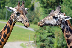 The giraffe Royalty Free Stock Photos