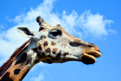 The giraffe Stock Photo