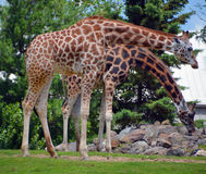 The giraffe Royalty Free Stock Image