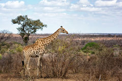 Giraffe. The giraffe (Giraffa Camelopardalis) is an African even-toed ungulate mammal, the tallest living terrestrial animal and the largest ruminant. Its Royalty Free Stock Photo