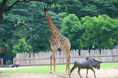 Giraffe. The giraffe (Giraffa camelopardalis) is an African even-toed ungulate mammal, the tallest living terrestrial animal and the largest ruminant. Its Royalty Free Stock Images