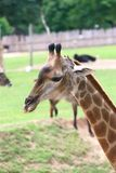 Giraffe. The giraffe (Giraffa camelopardalis) is an African even-toed ungulate mammal, the tallest living terrestrial animal and the largest ruminant. Its Royalty Free Stock Photography