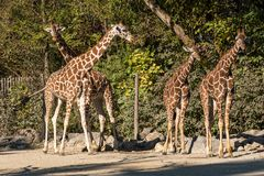 The giraffe, Giraffa camelopardalis is an African mammal royalty free stock photography