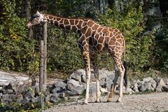 The giraffe, Giraffa camelopardalis is an African mammal. The giraffe, Giraffa camelopardalis is an African even-toed ungulate mammal, the tallest of all extant stock image