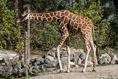 The giraffe, Giraffa camelopardalis is an African mammal. The giraffe, Giraffa camelopardalis is an African even-toed ungulate mammal, the tallest of all extant royalty free stock photos