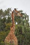 Giraffe (Giraffa camelopardalis) Stock Photos