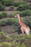 Giraffe (Giraffa camelopardalis) Royalty Free Stock Photo