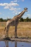 Giraffe - Giraffa camelopardalis - Botswana Stock Photos