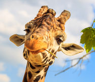 Giraffe (Giraffa camelopardalis) chewing a twig. Royalty Free Stock Photos