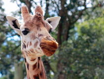 Giraffe (Giraffa camelopardalis) close up. A close up of an amused looking Giraffe at Wellington Zoo, New Zealand Stock Photos