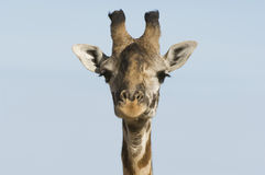 Giraffe (Giraffa camelopardalis) close-up of head Royalty Free Stock Photos