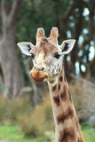 Giraffe ( Giraffa camelopardalis). A close up head shot of a Giraffe at Wellington Zoo, New Zealand royalty free stock images