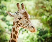 Giraffe (Giraffa camelopardalis). Close up portrait of giraffe (Giraffa camelopardalis Royalty Free Stock Photo