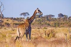 Giraffe Giraffa camelopardalis. Closeup. Mesh giraffe. Wild nature. Giraffe is the highest terrestrial animal of the planet. Giraffe Giraffa camelopardalis. Mesh stock images