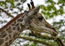 Giraffe Giraffa camelopardalis. Closeup. Mesh giraffe. Wild nature. Giraffe is the highest terrestrial animal of the planet. Giraffe Giraffa camelopardalis. Mesh stock photos
