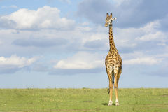 Giraffe (Giraffa camelopardalis) crossing savanna Stock Photography