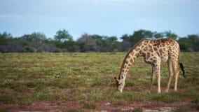 Giraffe Giraffa camelopardalis eating grass in the savannah. Beautiful giraffe Giraffa camelopardalis eating grass in the savannah at the end of the rainy season Royalty Free Stock Photos