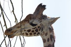 Giraffe (Giraffa camelopardalis) eats a branch Royalty Free Stock Images